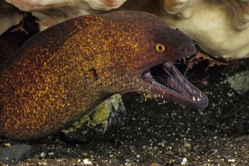 Yellowmargin Moray Eel cleaned by Spotted Cleaner Shrimp