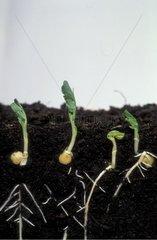 Pois nain Douce Provence en germination Studio