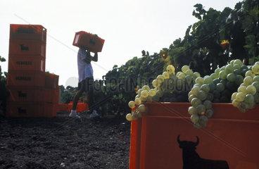 Harvesting grapes for Osborne sherry