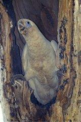 Little Corella at it nest entrance Australie