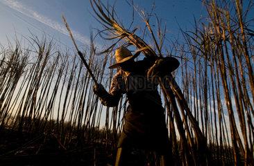 Sugarcane cutters  Sao Paulo State  Brazil. Biofuel  ethanol and sugar plant.