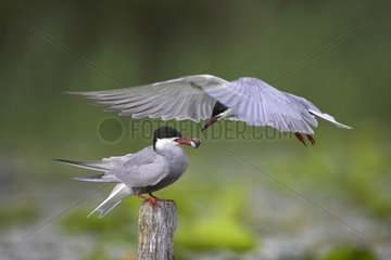 Offering during a courtship of Whiskered terns France
