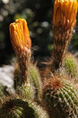 Orange flowers of Trichocereus Jardin Exotique de Monaco