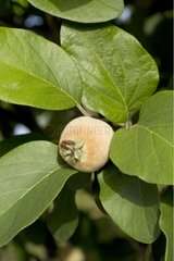 Young quince on tree Provence