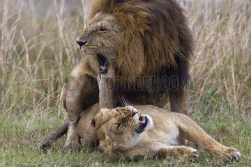 Lions mating in the savanna Masai Mara Kenya
