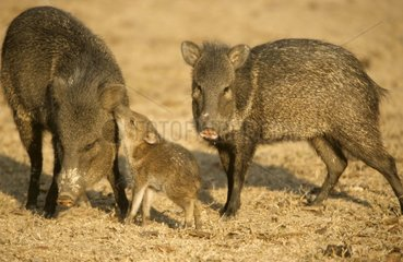 Portrait of a family of Peccaries in savanna Brazil