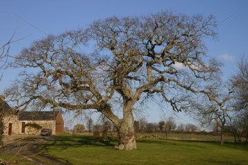 Centenary Oak close to a farm Côtes-d'Armor France