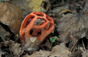 Latticed Stinkhorn Landes de Gascogne France