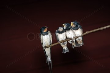 Barn Swallows posed on a branch Finland