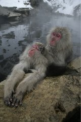 Japanese Macaque in a warm spring Japan