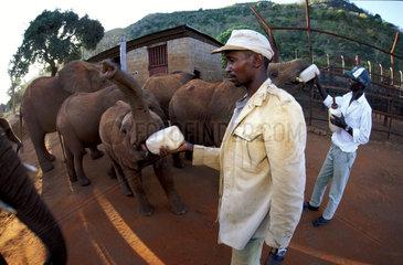 Tsavo Elephant nursery  bottle feeding young elephants for breakfast