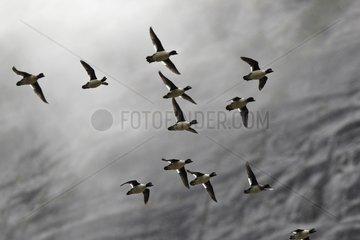 Barrow's Goldeneye in flight Mussel bay Swindle Island Canada