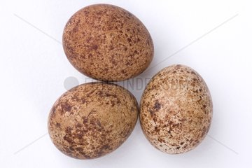Three Eurasian Hobby eggs on a white background