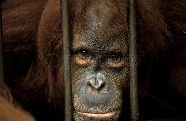 Sumatra  a male orangutan behind bars in the Bukit Lawang sanctuary