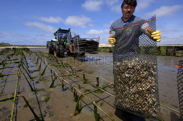 Sylt  oyster beds