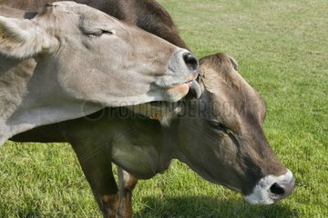 Brune cows licking France