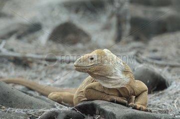 Santa Fe Land Iguana on a rock at sun Galapagos