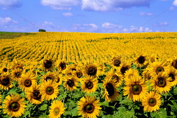 Wild colors of sunflowers in Jamestown North Dakota