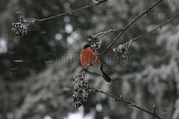 Bullfinch male branched in winter Slovakia