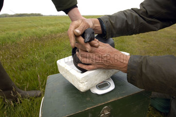 Terschelling  field scientist weighing a captured Brent goose on a scale