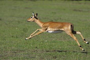 Female Impala running Masai Mara Kenya