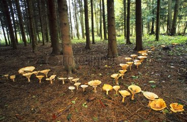 Fairy ring of Giant Funnels Bas-Rhin France