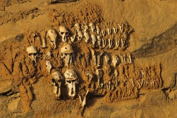 Craniums of Monkeys with Téli Country Dogon Mali