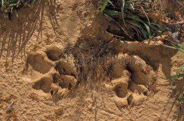 Empreinte de loup ibérique dans la terre Espagne