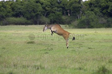 Jumping Eland Masai Mara Kenya