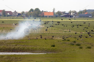 Terschelling  a net is used by scientists of Alterra to capture a group of Brent geese