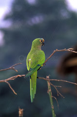 Jandaia - Aratinga aurea  Aratinga-aurea  Peach-fronted Parakeet  bird of the brazilian fauna.