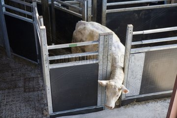 Transport of charolais cows in a livestock van France
