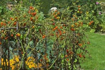 Tomates cerises au Jardin potager du Château de Cormatin