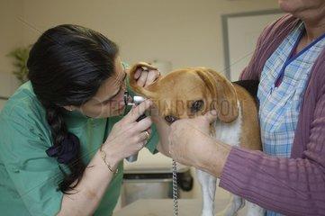 Veterinarian examining with the otoscope ears of a beagle