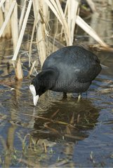 Common Coot on a pond of Meudon France