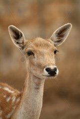 Female Farming fallow deer South Australia