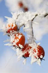 Ice crystals on the fruits of Hawthorn Germany