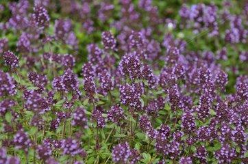 Wild Thyme in bloom in a garden in Hautes-Vosges