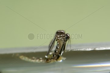 Mosquito emerging from its pupal envelope