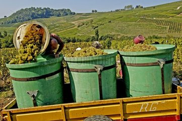 Grape harvest at Château Chalon in the Jura France