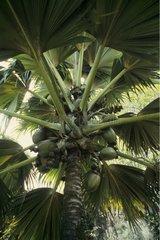 Double coconut female Mai valley Praslin Seychelles