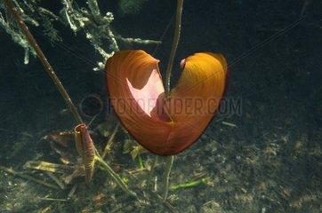Heart Water Lily Lake of Jura France