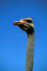 Ostrich farm in the Great Karoo