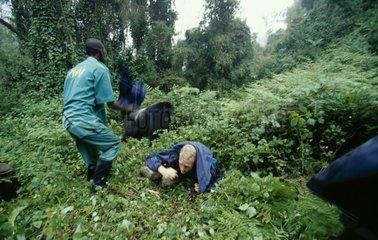 Touriste libéré des pattes d'un Gorille mâle dos argenté