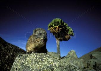 The mount Kenya Cape Rock Hyrax