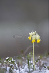 Cowslip primrose flowerunder snow Alsace France