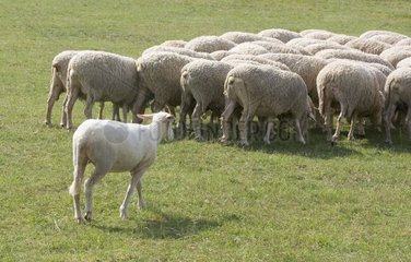 Mowed ewe joining the others with the park France