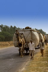 Local people having camels pull heavy loads on the dangerous Mathura Highway between Agra and New Delhi India