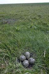 Terschelling  nest and eggs of fieldbird