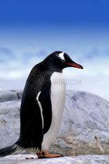 Gentoo Penguin on ledge with ice in Antarctica Peninsula wildlife birds